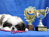Собаки, щенята Японський хіни, ціна 2500 Грн., Фото