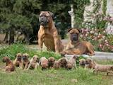 Собаки, щенята Бульмастиф, ціна 1500 Грн., Фото