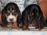 Собаки, щенки Бассет, цена 3500 Грн., Фото