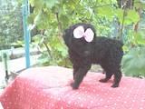 Собаки, щенята Карликовий пудель, ціна 1100 Грн., Фото
