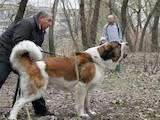Собаки, щенки Спаривание, Фото