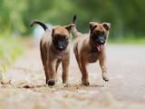 Собаки, щенки Бельгийская овчарка (Малинуа), цена 6000 Грн., Фото