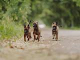 Собаки, щенята Бельгійська вівчарка (Малінуа), ціна 6000 Грн., Фото