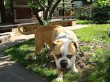 Собаки, щенята Американський бульдог, ціна 2000 Грн., Фото