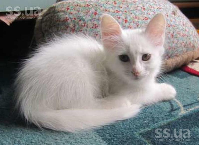 котята турецкая ангора фото