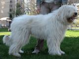 Собаки, щенята Південноросійська вівчарка, ціна 4000 Грн., Фото