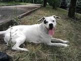 Собаки, щенята Аргентинський дог, Фото
