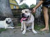 Собаки, щенки Мальоркский бульдог (Ка Де Бо), цена 7000 Грн., Фото