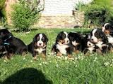Собаки, щенята Великий Швейцарський зенненхунд, ціна 2500 Грн., Фото