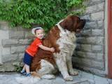 Собаки, щенята Сенбернар, ціна 3000 Грн., Фото