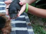 Собаки, щенки Вельштерьер, цена 1500 Грн., Фото