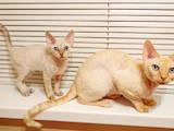 Кішки, кошенята Девон-рекс, ціна 1828 Грн., Фото