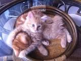Кошки, котята Курильский бобтейл, цена 1200 Грн., Фото