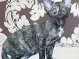 Кошки, котята Девон-рекс, цена 2800 Грн., Фото