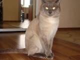 Кошки, котята Тайская, цена 800 Грн., Фото