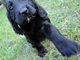 Собаки, щенки Американский коккер, цена 400 Грн., Фото