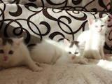 Кошки, котята Русская голубая, Фото