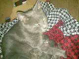 Кошки, котята Русская голубая, цена 2000 Грн., Фото