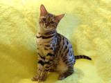 Кошки, котята Бенгальская, цена 8000 Грн., Фото