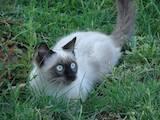 Кішки, кошенята Невськая маскарадна, ціна 400 Грн., Фото