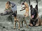 Собаки, щенята Бельгійська вівчарка (Малінуа), ціна 8000 Грн., Фото
