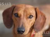 Собаки, щенята Короткошерстний чивава, ціна 100 Грн., Фото