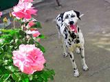 Собаки, щенята Далматин, ціна 1200 Грн., Фото