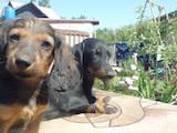 Собаки, щенята Довгошерста такса, ціна 500 Грн., Фото