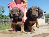 Собаки, щенки Гладкошерстная кроличья такса, цена 500 Грн., Фото