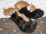 Кошки, котята Нeбелунг, Фото