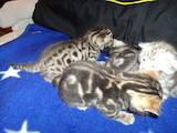 Кошки, котята Бенгальская, цена 2000 Грн., Фото