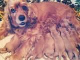 Собаки, щенки Американский коккер, цена 1000 Грн., Фото