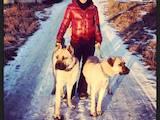 Собаки, щенки Турецкий кангал, цена 3000 Грн., Фото