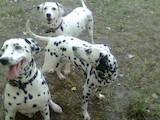 Собаки, щенята Далматин, Фото