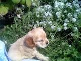 Собаки, щенята Американський коккер, ціна 300 Грн., Фото