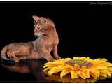 Кошки, котята Абиссинская, цена 6500 Грн., Фото