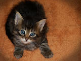 Кішки, кошенята Турецька Ангора, ціна 300 Грн., Фото
