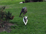 Собаки, щенки Кане Корсо, цена 800 Грн., Фото