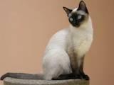 Кішки, кошенята Сіамська, ціна 300 Грн., Фото