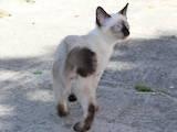 Кошки, котята Меконгский бобтейл, цена 1000 Грн., Фото