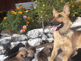Собаки, щенята Бельгійська вівчарка (Малінуа), ціна 500 Грн., Фото