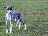 Собаки, щенята Уїппет, ціна 4000 Грн., Фото