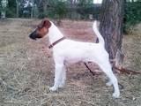 Собаки, щенки Гладкошерстный фокстерьер, цена 2000 Грн., Фото