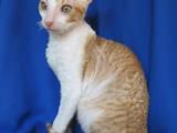 Кошки, котята Корниш-рекс, цена 1600 Грн., Фото