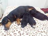 Собаки, щенки Гладкошерстная кроличья такса, цена 400 Грн., Фото