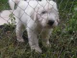 Собаки, щенки Комондор, цена 9000 Грн., Фото