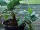 Домашні рослини Плодові дерева, саджанці, ціна 100 Грн., Фото