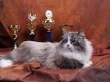 Кішки, кошенята Невськая маскарадна, ціна 4000 Грн., Фото
