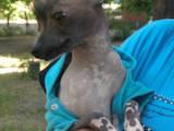 Собаки, щенята Китайська чубата собака, Фото