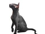Кішки, кошенята Орієнтальна, ціна 2500 Грн., Фото
